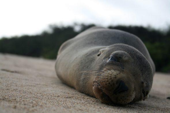 Robbe auf den Galapagos-Inseln