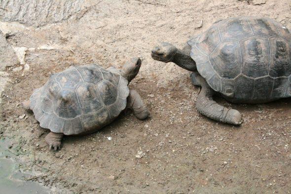 Riesenschildkröten auf den Galápagos-Inseln