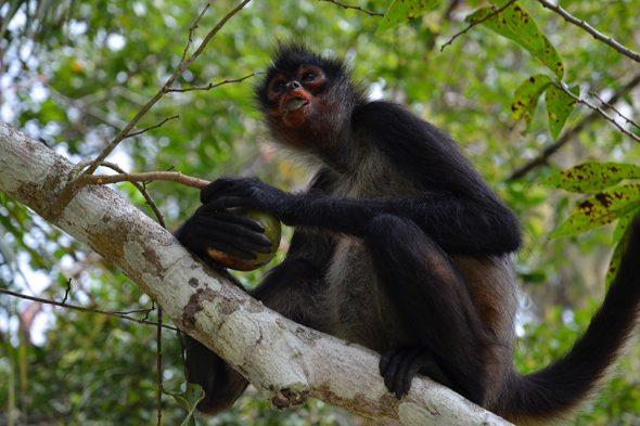Affe in Tikal, Guatemala