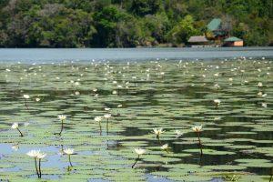 Seerosen auf dem Río Dulce