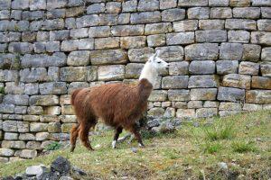 Lama in Kuélap
