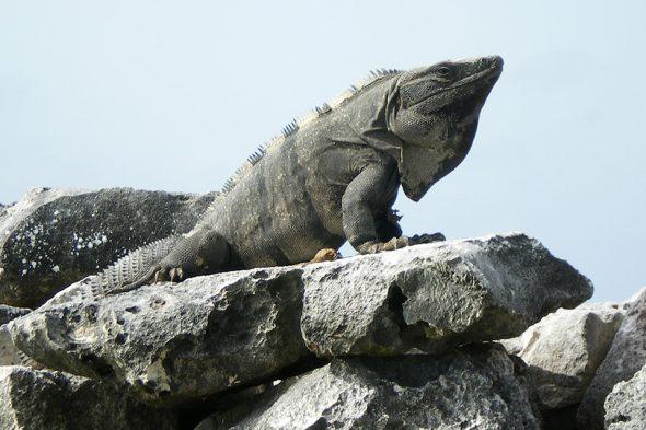 Leguan in Tulum