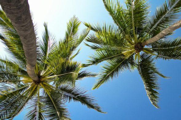 Palmen in Mexiko