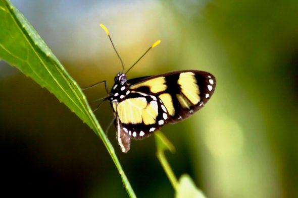 Schmetterling im Paraná-Regenwald