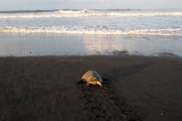 Schildkröten nisten am Strand in Ostional